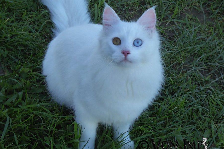 49e22e545c787e Name  Vonimp Serhan  Breed  Turkish Angora  Sex  Male  Colour  Odd-eyed  White  Date of birth  3 October
