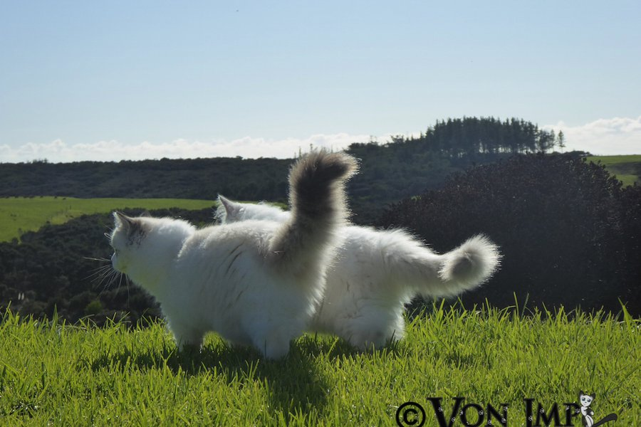 Rqagdoll kitten